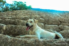 """Fisrt time we saw him, my 11 year old buddy Mason called him """"Jojo"""". Since than, he is joining almost all of my tours at Coba. Cancun Wedding, Cozumel, Riviera Maya, Tour Guide, Tulum, Snorkeling, Fly Fishing, Labrador Retriever, Travel Tips"""