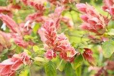 Before we talk about how to care for a shrimp plant, you should know what a shrimp plant is. This is an evergreen shrub that requires certain needs to grow it successfully. Read this article to learn more.