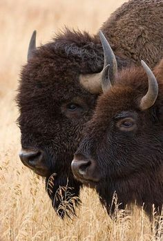 Photograph Together by John Blumenkamp on by Hercio Dias Buffalo S, Buffalo Animal, Farm Animals, Animals And Pets, Wild Animals, Buffalo Pictures, Moose Deer, Musk Ox, American Bison
