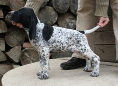 German Shorthaired Pointer Pup - Braque d'Auvergne.