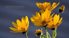 Afternoon Daisies
