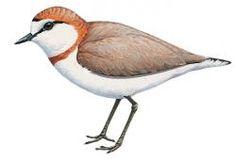 Chestnut-banded Plover (Charadrius pallidus)