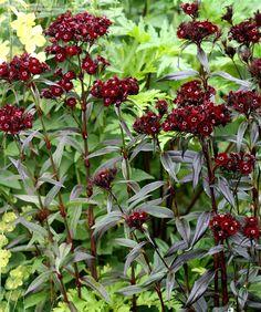Photo of Sweet William 'Sooty' (Dianthus barbatus var. nigrescens)