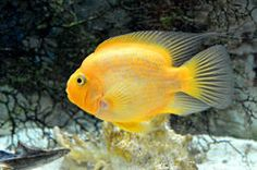 Yellow Parrot Cichlid - Download From Over 62 Million High Quality Stock Photos, Images, Vectors. Sign up for FREE today. Image: 38336319