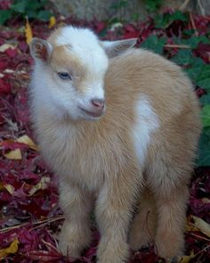 Nigerian Dwarf Goat Kid - I can not wait to move so that I can have these and chickens and of course my bunnies... And a pig called Bacon