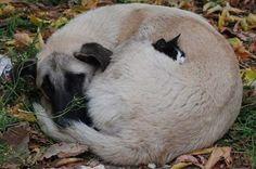 ネコが犬のモフモフに包まれて「暖かいにゃ~」 猫の動画 ねこわん!