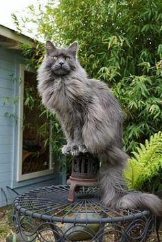 What a gorgeous cat. Maine Coon cats are one of my favorites.
