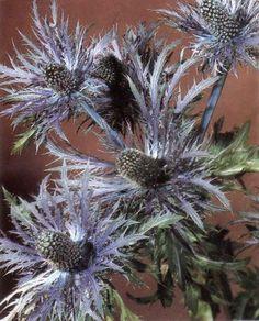 Sea Holly- Eryngium   What a beauty!
