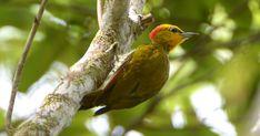 Pica-pau-bufador emite som alto e ocorre em região de Mata Atlântica