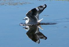 Andean Gull - Kiulla http://www.go2peru.com/spa/guia_viajes/arequipa/foto_aves_andinas_bofedales.htm