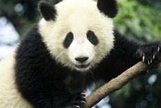 Giant-Panda  [Ailuropoda melanoleuca]  - Despite their exalted status and relative lack of natural predators, Pandas are endangered. Severe threats from humans have left fewer than 1,600 pandas in the wild - World Wildlife Fund [WWF]