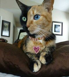 Torrie Cat Google Search Cats Pinterest Google Search Cat - Venus cat two faces making twice adorable