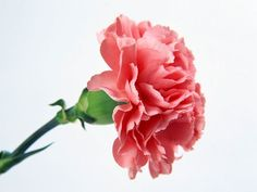 i love the pink carnation till the day i die