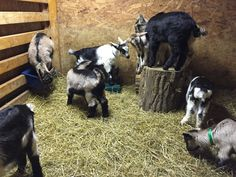 Our baby goats having a lot of fun in the barn.  #babygoats #fan #barn #goats #babygoat #goat #babies #kids #funny #funtime #funday #funtimes #funnypictures #cute #cuteanimals #cutest #cuties #pic #farm #farmlife #animals  #picture #picoftheday #pictureoftheday