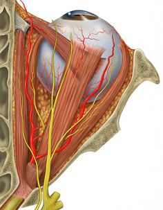 Human eye and orbital anatomy, superior view #anatomy