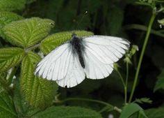 Wil je dat je tuin een thuis wordt voor vlinders? Ga dan een stap verder dan alleen een vlinderstruik te planten  Wil je vlinders in je tuin dan is het belangri