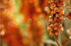 Sea Buckthorn is a nutrient dense land plant native to Tibet, Russia, and other parts of Asia. Amazing health and healing qualities including youthful skin, weight loss, every vitamin known to man, helps with menopause, and much more!!!!