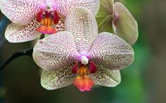 Google Image Result for http://flowerinfo.org/wp-content/gallery/orchid-flowers/orchid-flower-13.jpg