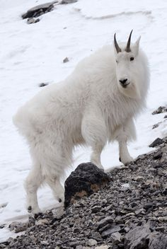 canmore - rocky mountain goat, my favorite fellow Weather Network, Primates, Rocky Mountains, Places To Travel, Goats, Road Trip, Wildlife, Creatures, Photo And Video