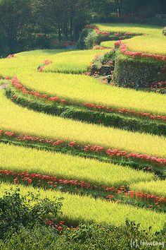 Bansho Rice Terrace with Red Spider Lily, Yamaga city, Kumamoto, Japan Kumamoto, Kyushu, The Beautiful Country, Beautiful Places, Red Spider Lily, Rice Terraces, Field Of Dreams, Fukuoka, Gardens