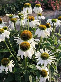 """Height: Medium to Tall 3' / Plant 16"""" apart  Bloom Time: Summer to Fall   Sun-Shade: Full Sun to Half Sun/ Half Shade   Zones: 3-9  Get Your Zone  Soil Condition: Normal, Clay   Flower Color / Accent: White / White"""