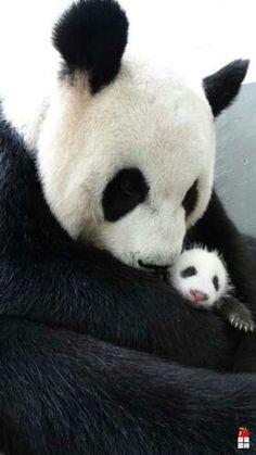 Mama panda yuan-yuan and her baby yuan-a @LN Stein zoo in Taiwan