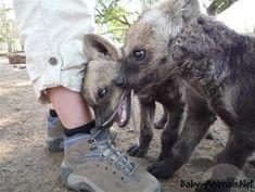 Baby hyena 12 #babyhyena #cutehyena #littlehyena #sweethyena #funnyhyena #hyena #hyenagallery #babyanimals #cuteanimals #littleanimals