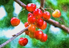 I uploaded new artwork to fineartamerica.com! - 'Fresh Sweet And Juicily Cherries On Tree' - http://fineartamerica.com/featured/fresh-sweet-and-juicily-cherries-on-tree-lanjee-chee.html via @fineartamerica