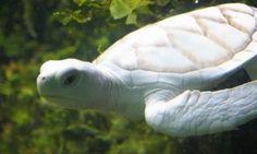 tortue albinos