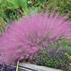 SUN - Muhly Cotton Candy Grass - In LATE SUMMER this tough grass sends up light airy pink plumes. One of the most showy grasses for the landscape. Because of its tough nature it can be planted just about anywhere. It tolerates heat, humidity, drought and wet conditions. Grows 3' tall and 2 1/2' wide. Zones 6-9