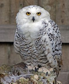 jaws-and-claws: Snowy Owl by Lawrence G Photos! on Flickr