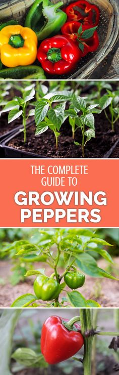 Enjoy salads more this summer with your own supply of home-grown sweet peppers or capsicums. A perfect read for beginners and experienced gardeners alike; find out how to grow your own peppers at home the easy way!