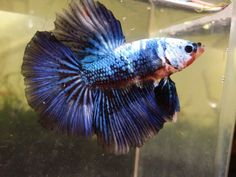 Beautiful Half moon Blue Koi Betta(fish In Photo)