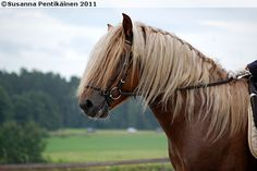 Is there a horse under that hair? Finnhorse stallion Pilsner. Draft Horses, Horse Breeds, Beautiful Creatures, Finland, Coaching, Childhood, Training, Country, Pictures