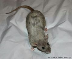 """""""pearl merle"""" is one of the most beautiful coat colors on rats <3"""