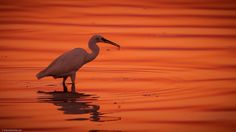 Little Egret by Antonis Stoubas on 500px