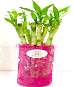 Lucky Bamboo stems delivered in Glass Vase. Lucky Bamboo, Stems, Feng Shui, Glass Vase, Delivery, Flowers, Plants, Drift Wood, Trunks