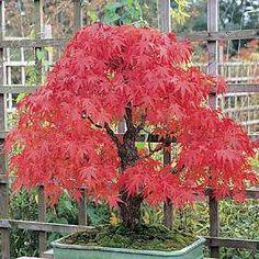 Japanse Esdoorn (algemeen) (Acer palmatum) | MijnTuin.org