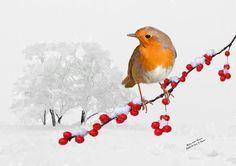 Tierwelt-Kunstdruck von einem englischen Robin mit Beeren im Schnee. Es ist viel Folklore, die Robins umgibt, aber sie sind berühmt für ihre Verbindungen zu Weihnachten.  Titel: Robin mit Beeren  GRÖßE: Verwenden Sie die Drop-Down-Menü, wählen Sie Ihre bevorzugte Größe 5 x 7 Zoll verfilzt oder nicht verfilzt oder A4 - 8,27 x 11.69 Zoll.  Druck: Alle Drucke sind auf Ilford Galerie Smooth Pearl Fine Art 310gsm Papier und werden mit einer Profi-Qualität-Epson-Drucker mit echten archivalische…