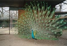 picture 1/4 - Spalding peafowl are a cross between India Blue/Java Green peafowl. These birds are considered hybrids because of the cross between the 2 different species. Hybrid birds tend to be a little bigger than either the blues or greens. The percentage of Java green that a bird has in it's bloodline will either make the bird a Spalding (50% blue and 50% green) or an Emerald Spalding ( 25% blue and 75% green ) or higher. Our farm currently breeds % of 3/4, 7/8, and 31/32 green