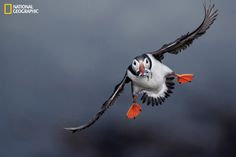 AIR MEAL © Danny Green/National Geographic Swooping in for a landing, an Atlantic puffin brings a meal for its chick on Scotland's Treshnish Isles. Puffin parents make up to eight food runs a day; each bird can grip 20 or more fish in its beak. Puffins Bird, Photo Voyage, Funny Birds, Rare Birds, Sea Birds, Belleza Natural, Animals Of The World, National Geographic Photos, Science And Nature