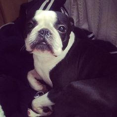 What this Boston Terrier Girl did to Feel Guilty like this?? Lots of Things Wrong!! ► http://www.bterrier.com/?p=27008 - https://www.facebook.com/bterrierdogs