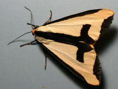 ✿ Sword Moth ✿