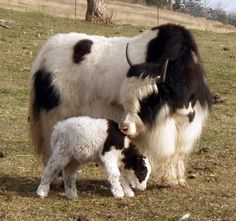Yak cow and calf