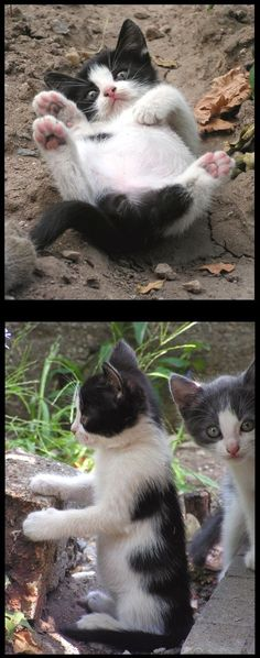 cute black and white kitten    #photos by evy-and-cats #cat cats pet animal fur fluffy kitty nature