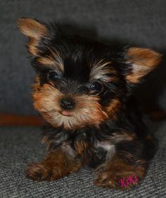 KiKi the tiny Yorkie