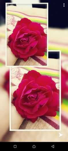 Flowers Dp, Rose, Plants, Pink, Plant, Roses, Planets