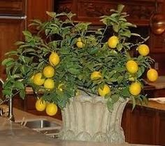 Indoor Lemon Trees, especially the Meyer Lemon Tree, are easy to grow and very satisfying. They are perfectly sized to grow in a container inside....
