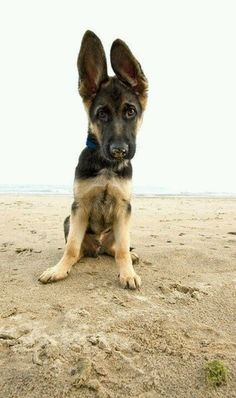 German Shepherd pup - look at those ears! Cute Puppies, Cute Dogs, Dogs And Puppies, Doggies, Baby Dogs, Baby Animals, Funny Animals, Cute Animals, German Shepherd Puppies