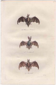 137 best bat prints images on pinterest antique prints fox and foxes
